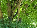 Acer palmatum Klon palmowy 2019-06-08 01.jpg