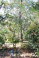 Acer pentaphyllum - Quarryhill Botanical Garden - DSC03215.JPG