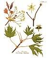 Acer platanoides-cv. laciniatumAHA clean.jpg