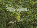 Acer pseudoplatanus(04).jpg