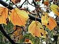 Acer rufinerve - Miyajima Natural Botanical Garden - DSC02311.JPG