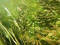 Ache nodiflore (Helosciadium nodiflorum) et algues filamenteuses dans les Baillons aout 2017a 07.jpg