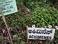 Achimenes from Lalbagh flower show Aug 2013 8047.JPG