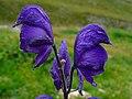 Aconitum napellus 004.JPG