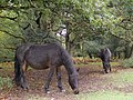 Acorn-eating ponies in Hollands Wood, New Forest - geograph.org.uk - 265907.jpg