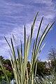 Acorus calamus Variegatus 1zz.jpg