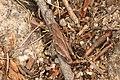Acrididae sp. (37128624863).jpg