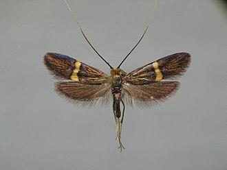 Adela croesella - Image: Adela croesella BE MK 7 317a