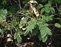Adenanthera pavonina.jpg