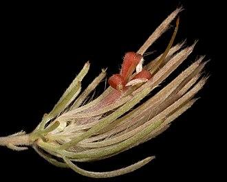 Adenanthos oreophilus - Image: Adenanthos oreophilus Flickr Kevin Thiele