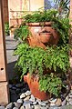 Adiantum sp., Mt Coot-tha Botanic Gardens, Toowong 100 9726.jpg