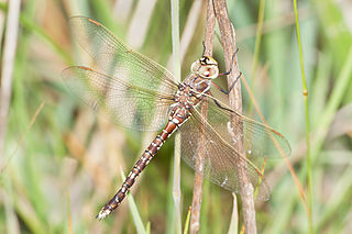 Blue-spotted hawker species of insect