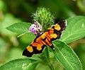 Aethaloessa calidalis by Kadavoor.jpg