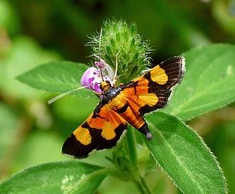 Crambidae - Image: Aethaloessa calidalis by Kadavoor