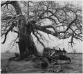Africa. French West Africa. Baobab trees present a big problem in clearing the land for planting. Poison is bored... - NARA - 541633.tif
