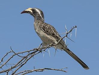 African grey hornbill - Image: African Grey Hornbill (Lophoceros nasutus epirhinus) female