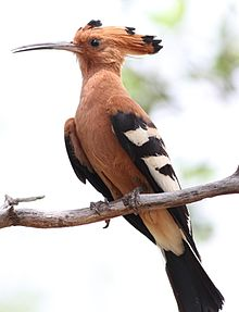 African Hoopoe, Upupa africana (Upupa epops) at Marakele National Park, Limpopo, South Africa (16218185517).jpg
