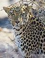 African Leopard Near Okevi Waterhole Etosha Namibia.jpg