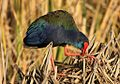 African Purple Swamphen, Porphyrio porphyrio at Marievale Nature Reserve, Gauteng, South Africa (8830493476).jpg