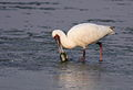 African Spoonbill, Platalea alba at Borakalalo National Park, South Africa (9856946283).jpg