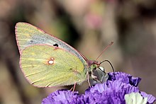 African clouded yellow (Colias electo pseudohecate) underside.jpg