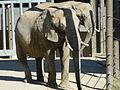 African elephants cheyenne mountain zoo.JPG