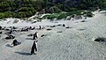 African penguins (Spheniscus demersus) at Boulders Beach (06).jpg