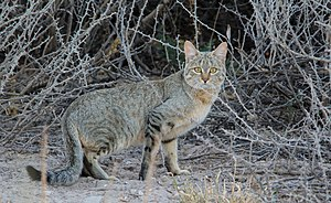 Khutse Game Reserve - African Wild Cat