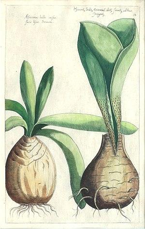 Emanuel Sweert - Plate from Florilegium