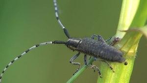 File:Agapanthia villosoviridescens.ogv