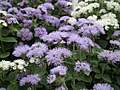 Ageratum from Lalbagh flower show Aug 2013 7975.JPG