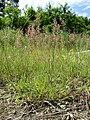 Agrostis stolonifera sl13.jpg