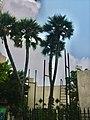 Ain Shams Univ Demedash Hospital Garden Doum palms.jpg