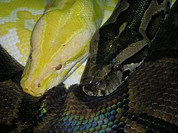 Albino snake with friend.jpg