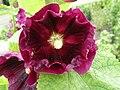 Alcea rosea 0.0 R.jpg