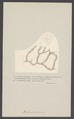 Alecto dichotoma - - Print - Iconographia Zoologica - Special Collections University of Amsterdam - UBAINV0274 005 13 0040.tif