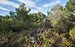 Aleppo Pines forest, Pinet, Hérault.jpg