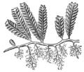 Alger, Caulerpa crassifolia, Nordisk familjebok.png