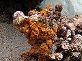 Algue corallinale à déterminer - 3.jpg
