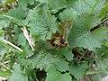 Alliaria petiolata SCA-110426-02.jpg