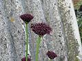 Allium atropurpureum (9064769639).jpg