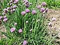 Allium schoenoprasum L..JPG
