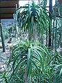 Aloe arborescens 01 by Line1.JPG