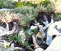 Aloe succotrina - growing down mountainside - South Africa.JPG
