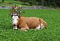 Alpabzug in Stechelberg 3.jpg