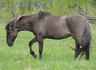 Sorraia - A Sorraia stallion