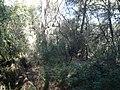 Alzinar al costat del cementiri de Roques Blanques P1510029.jpg
