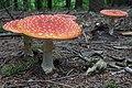 Amanita muscaria (45648946024).jpg