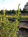 Amaranthus powellii subsp. powellii sl5.jpg