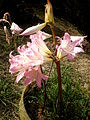 Amaryllis belladonna 2c.JPG